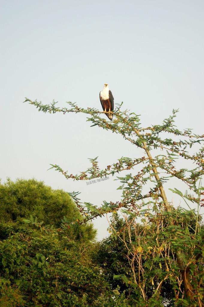 Akagera - Fish Eagle_JPP