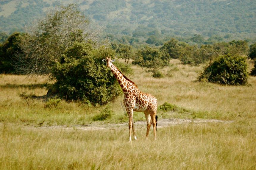 Akagera - Giraffes 2_JPP
