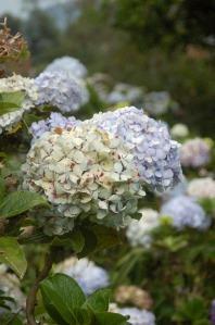 Flora of Roz Carr's Gardens 10