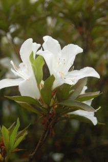 Flora of Roz Carr's Gardens 16