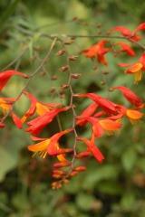Flora of Roz Carr's Gardens 19