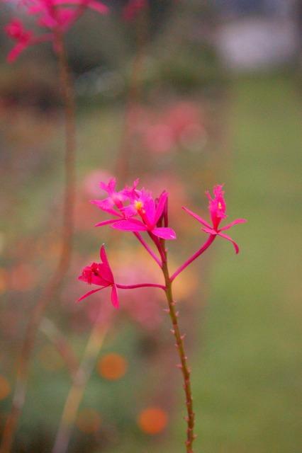 Flora of Roz Carr's Gardens 24