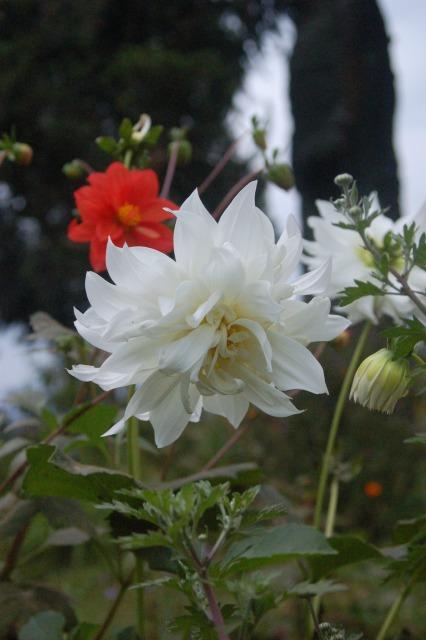 Flora of Roz Carr's Gardens 25