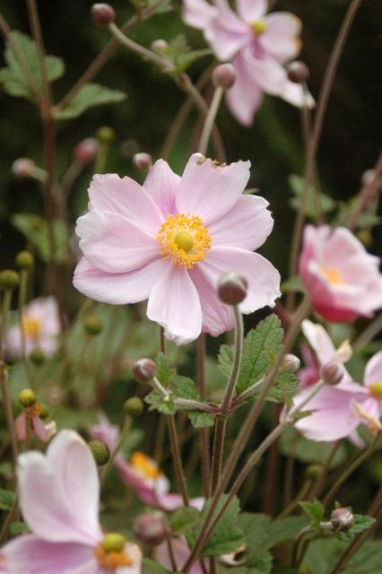 Flora of Roz Carr's Gardens 26