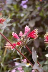 Flora of Roz Carr's Gardens 28