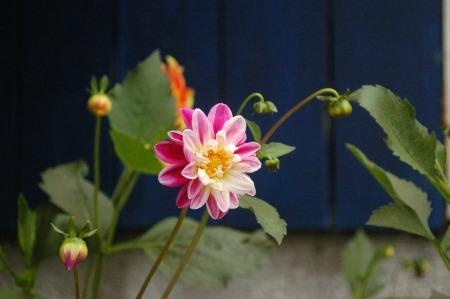 Flora of Roz Carr's Gardens 4