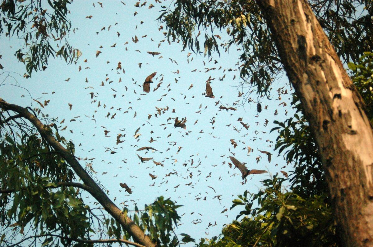 Bats Overhead | LakeKivu