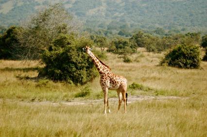 Akagera - Giraffes 2