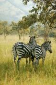 Akagera Zebras_JPP